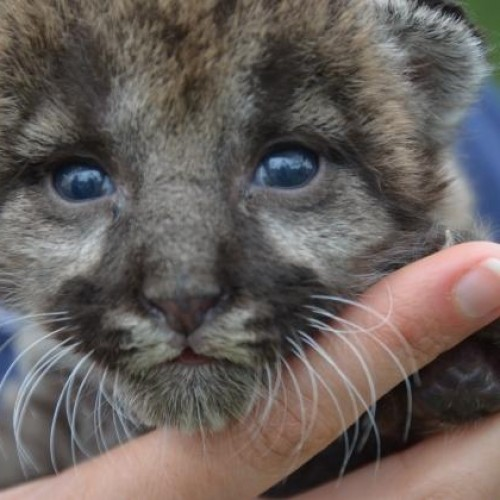 This panther kitten rehabbing is your Monday cure
