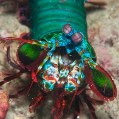 Mantis Shrimps can see cancer, scientists create Mantis Vision